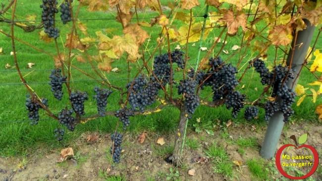 mon raisin bio pour faire des boutures de vignes