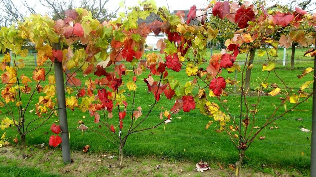 Belles couleurs d'automne des vignes.