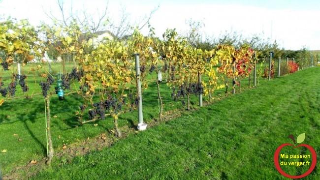 Vignes de consommation familiale - vigne de table pour jus de raisin