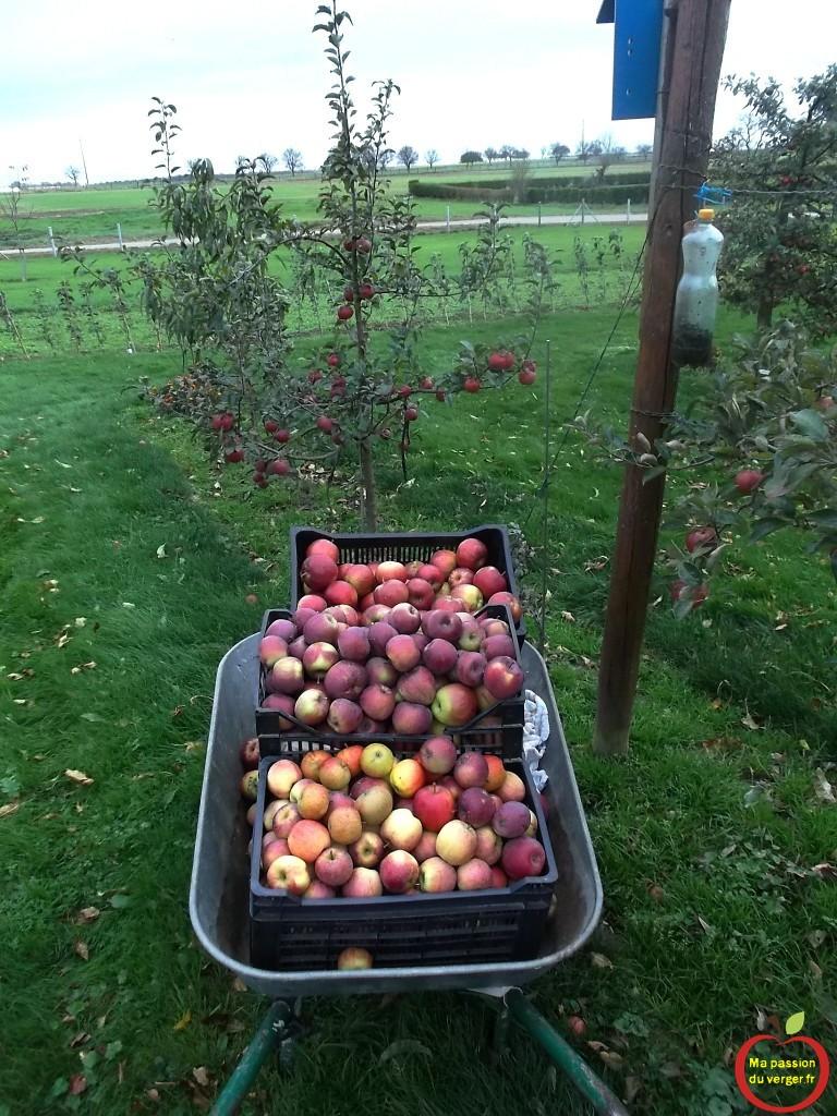 cueillette des pommes tardives