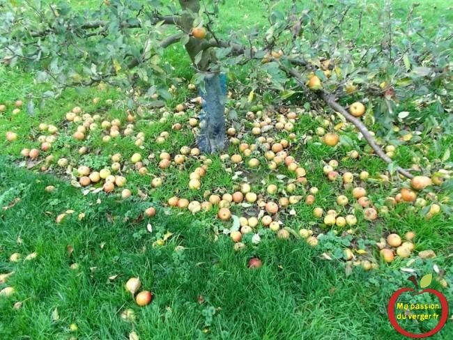 Ramassage des dernières pommes, pour la coopératives de fruits.