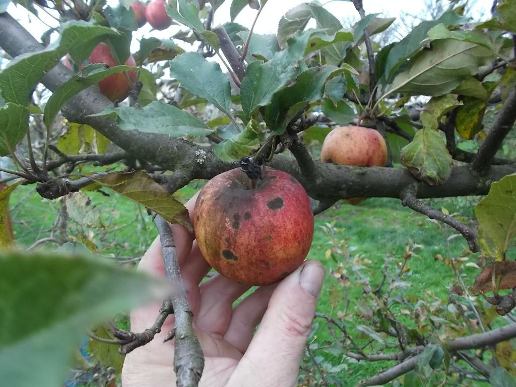 Tavelure et maladie de la suie sur pomme Gala.