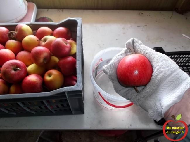 Désinfection de chaque pomme avec de l'eau de javel, pour une bonne conservation des fruits.
