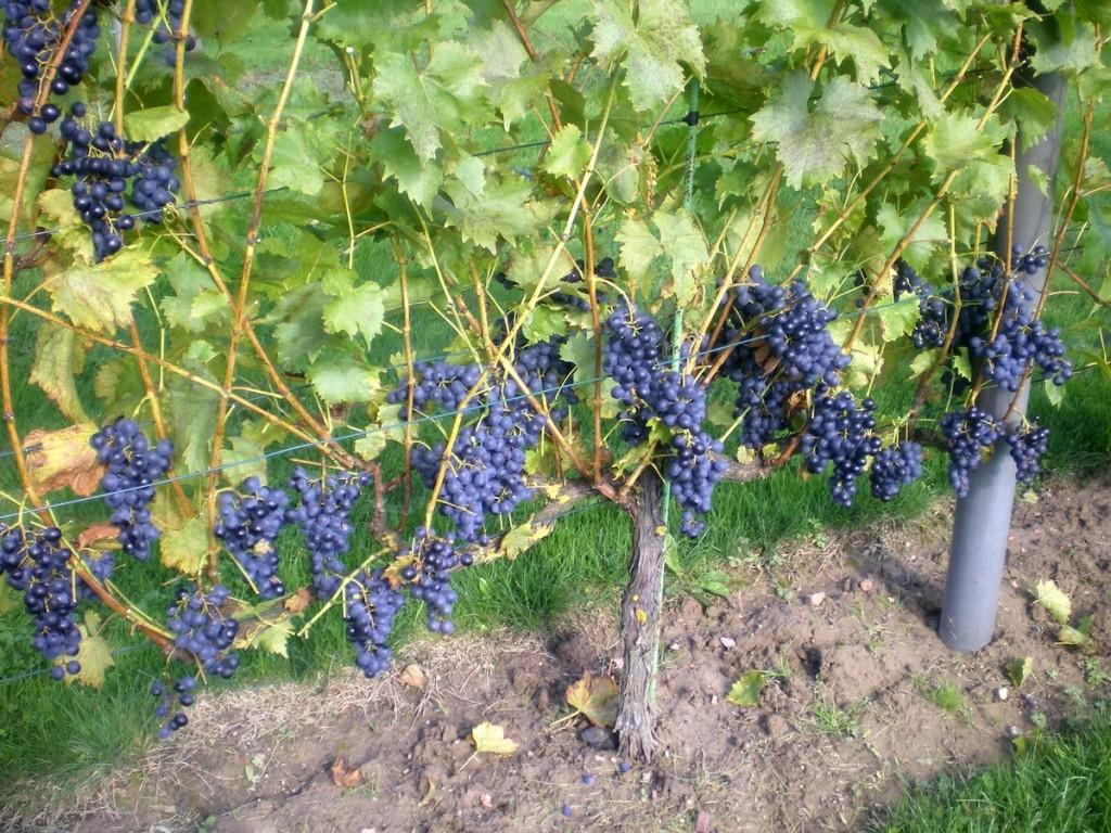 Construire une treille pour la vigne ma passion du verger - Comment tailler une treille de raisin ...