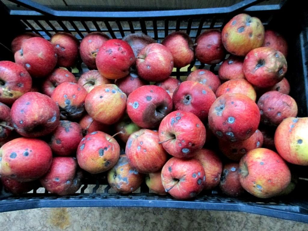 Pommes tavelées ne se conservent pas au fruitier.