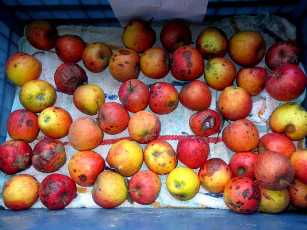 La maladie de conservation sur les pommes au fruitier