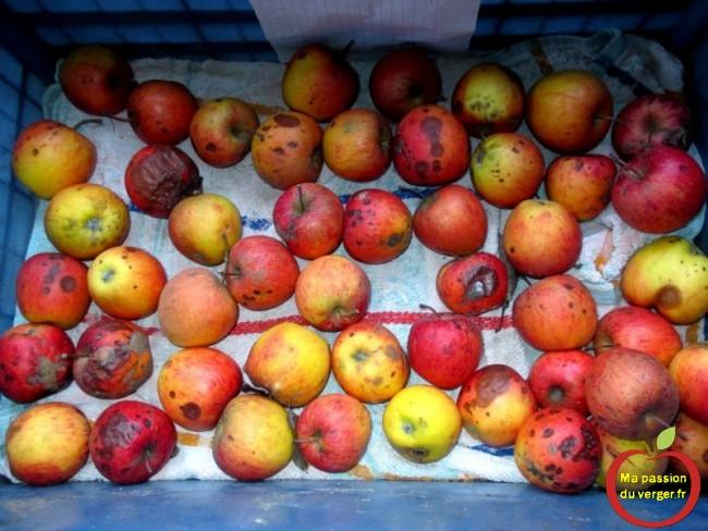 maladie de concervation pomme mauvaise conservation des pommes