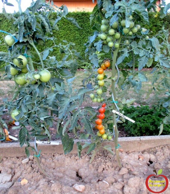Triangle outillage- Triangle -Marquage des différentes variétés de pieds de tomate, en utilisant des étiquettes à boucle recyclable, pendant plusieurs années