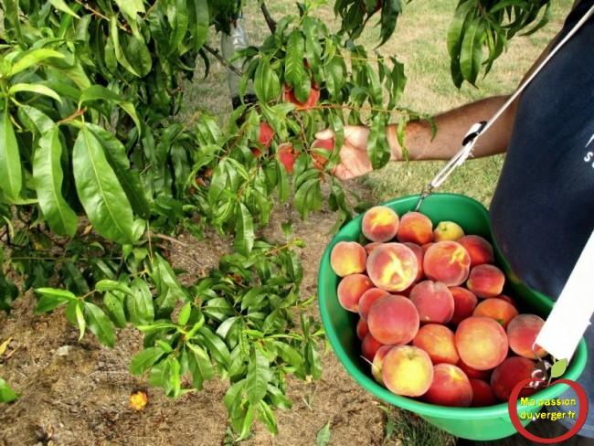 panier. Bien adapté aux petits fruits : cerises, abricots, pêches, mandarines, kiwis, mais aussi utilisables, pour les pommes et poires.