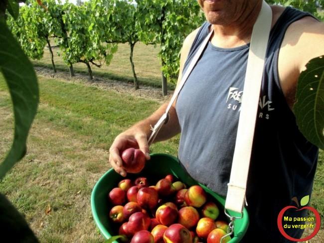 La récolte des nectarines à bonne maturitées.