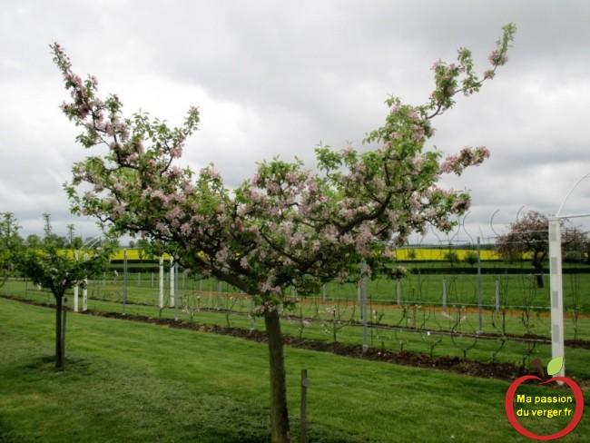 pommier demitiges en floraison