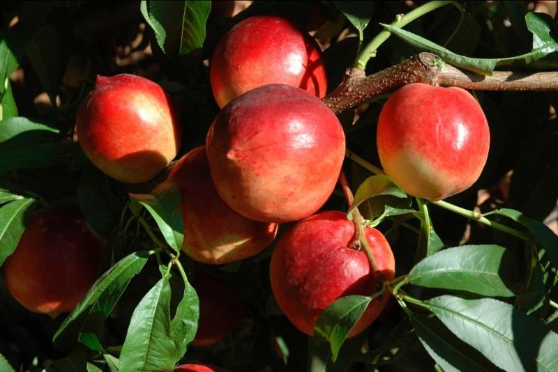 La coloration des fruits est un signe de maturité, avant la cueillette.