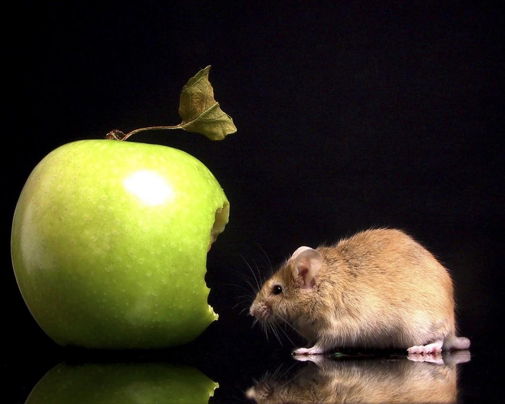 chasse au rongeur dans le fruitier