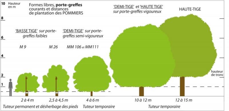Dessin Haute-tige_Basse-tige porte-greffe
