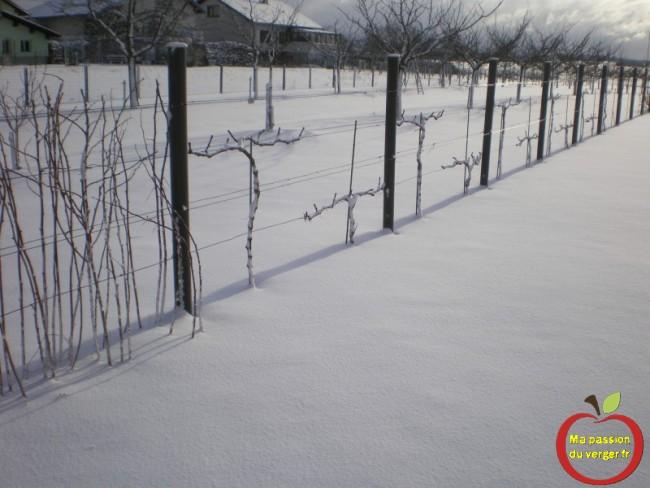 vigne en hiver après la taille
