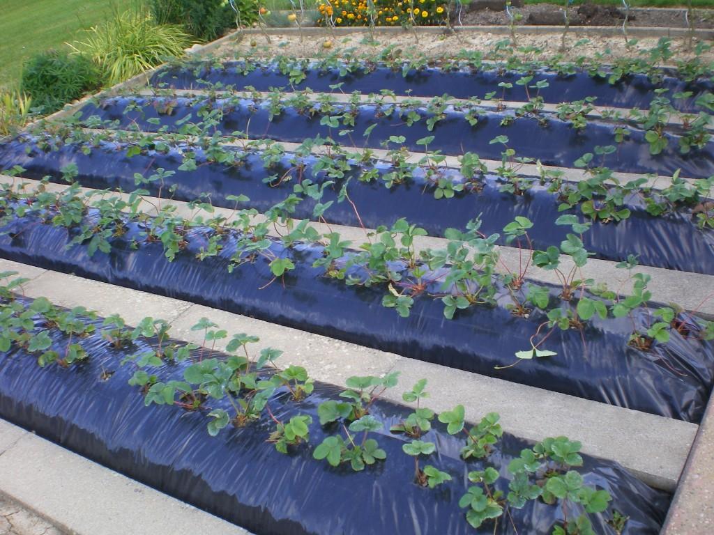 comment planter de fraisiers sur bache noir