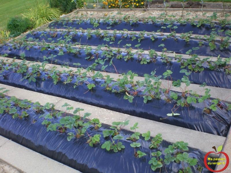 Ma fraiseraie ma passion du verger - Comment planter des patates douces ...