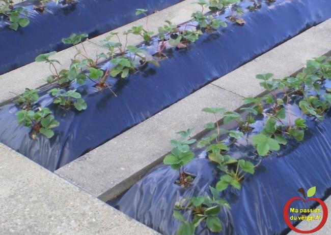 Irrigation localisée par suintement pour fraisier passion potager