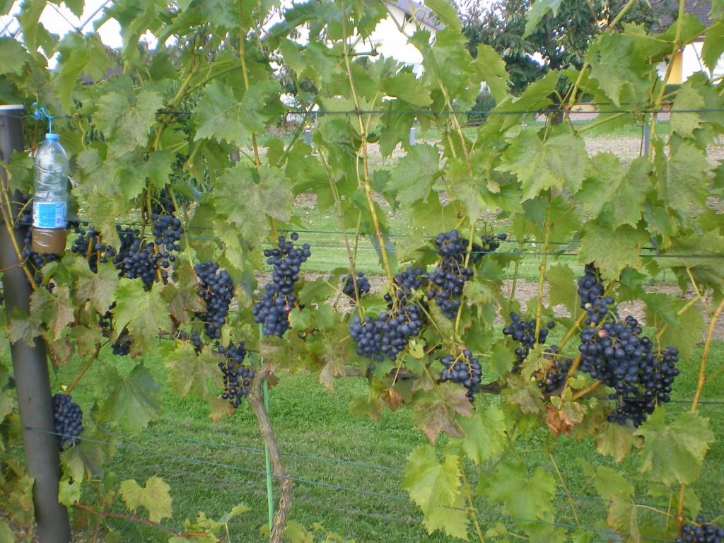 protection du raisin contre les guepes et frelon