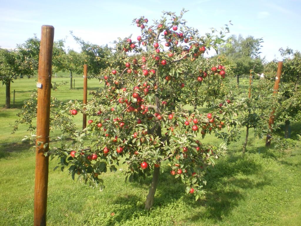 pommes rouge sur axe en mm106