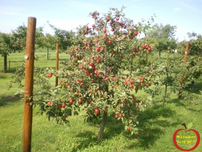 pommes rouge sur axe en mm106-regrevudnoissapamegres-