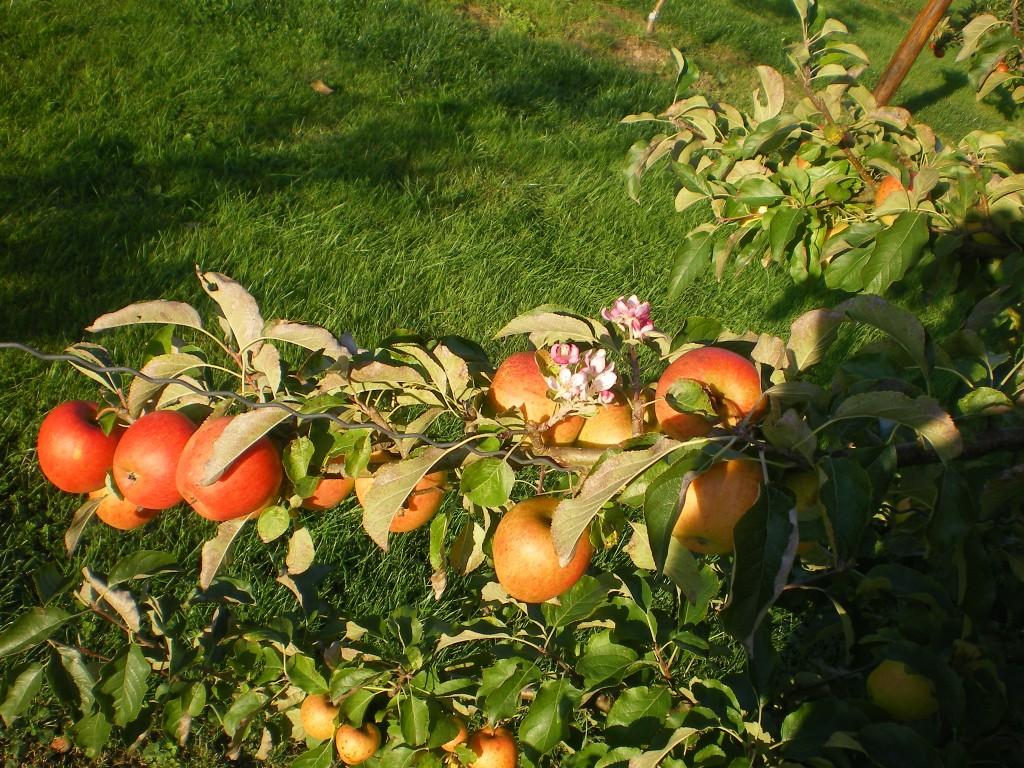 floraison du pommier en même temps que la récolte.