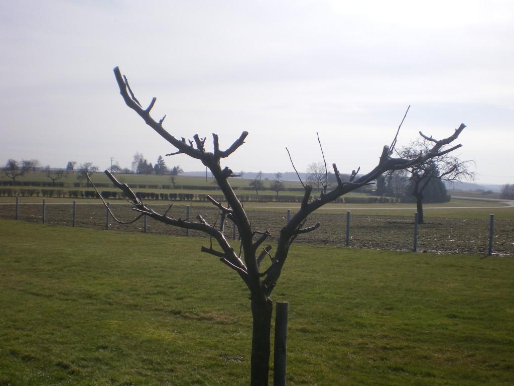 Pommier coupé pour greffage en mars.