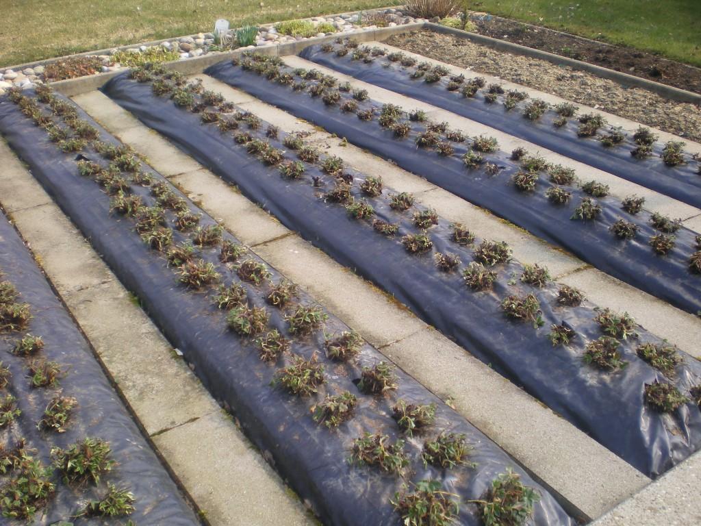 nettoyage fraisier sur bache au printemps