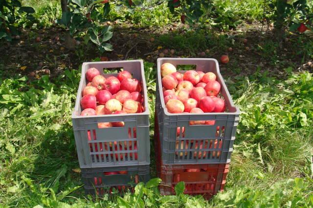 Pommes cueillies pour la conservation