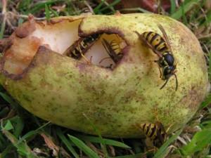 attaque guêpes sur poire-Dégât de frelon sur une guêpes- poire attaquée par les guêpes.- guêpes sur les poires- guêpes mange les poires- guêpes vide une poire.