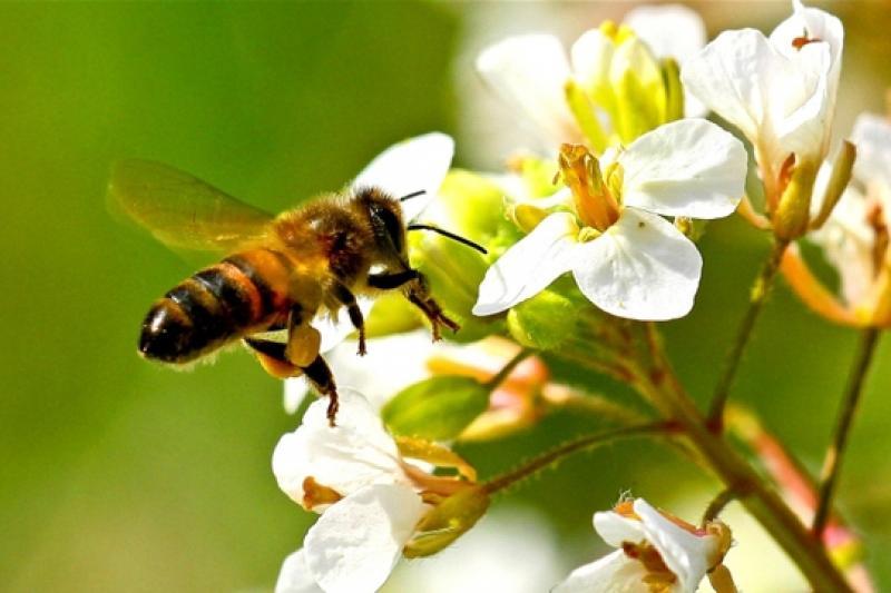 abeille_584603