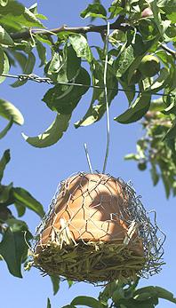 abri-perce-oreille en contact avec les feuilles