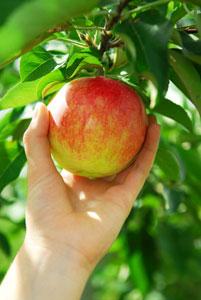 cueillette-pomme