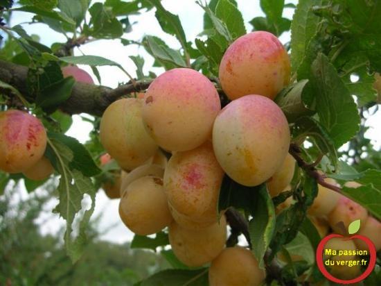 La saveur des fruits est déterminante pour la cueillette des mirabelles