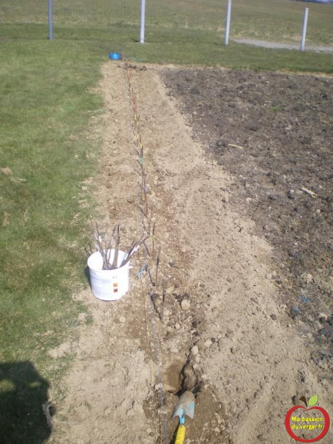 Plantation des porte-greffes après le greffage sur table