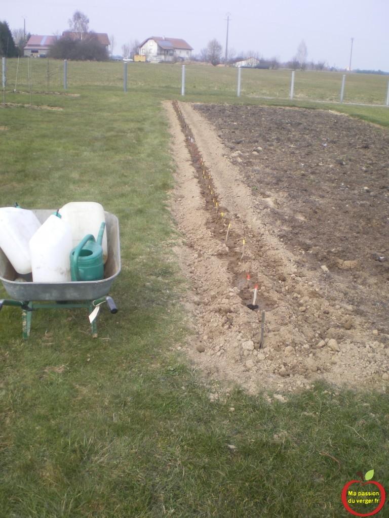 plantation porte-greffes, après le greffage