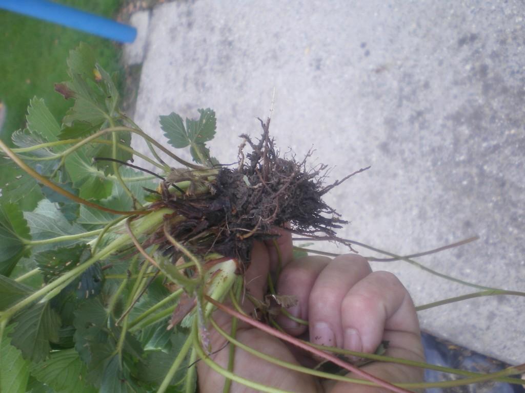 vieux plant de fraisier, a changer
