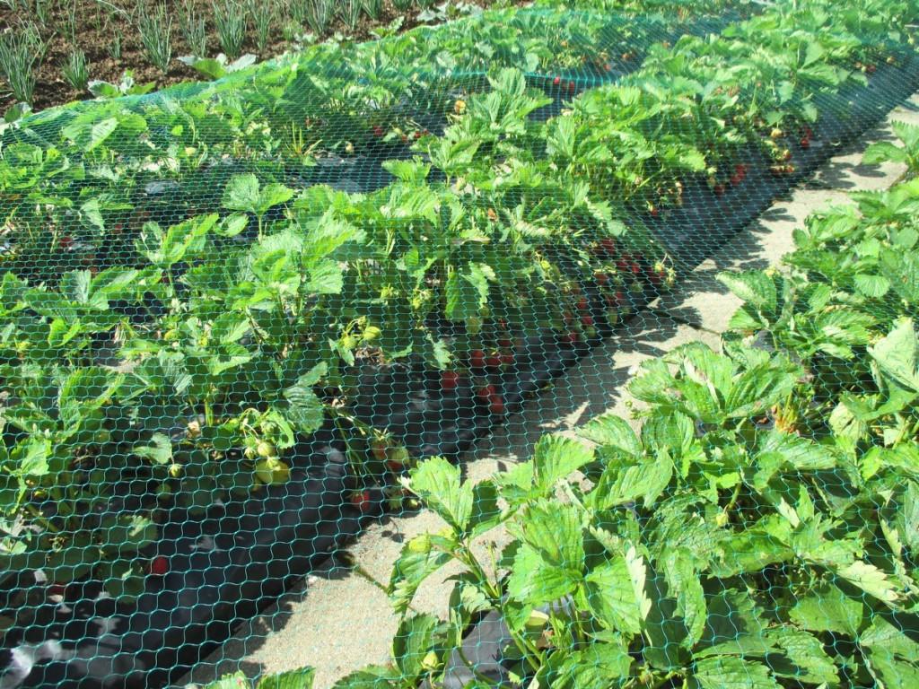 filet anti-oiseaux, pour potèger les fraises