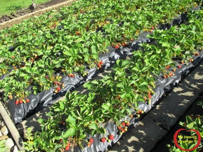 planter des fraises sur film -comment realiser une plantation de fraise sur bache nylon ou film agricole triangle ma passion du verger passion potager