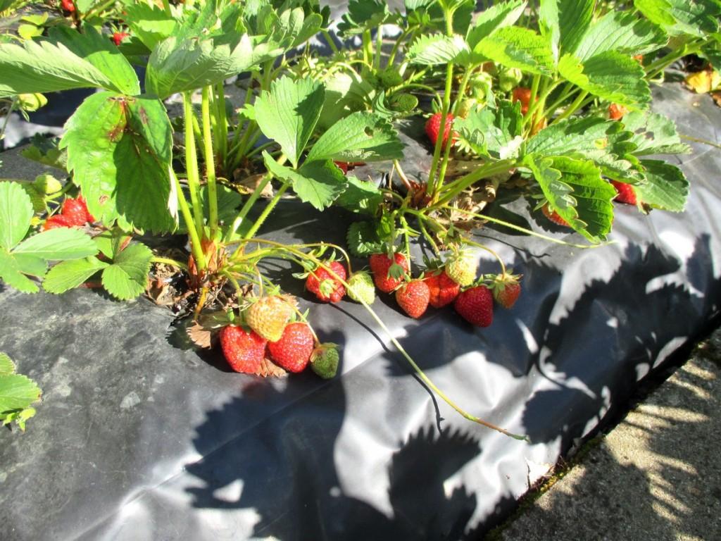 Belle récolte de fraises sur bâche ou film noir- fraise sur film de paillage-