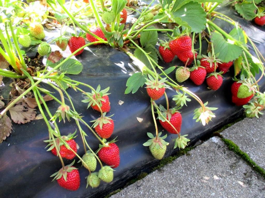 les avantages de planter des fraises sur butte et bache noir