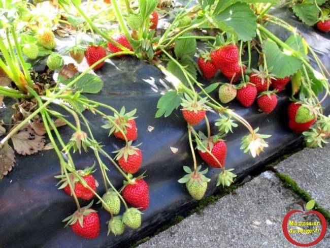 les avantages de planter des fraises sur butte et bâche noir -fraise sur butte- productivité fraises sur film-