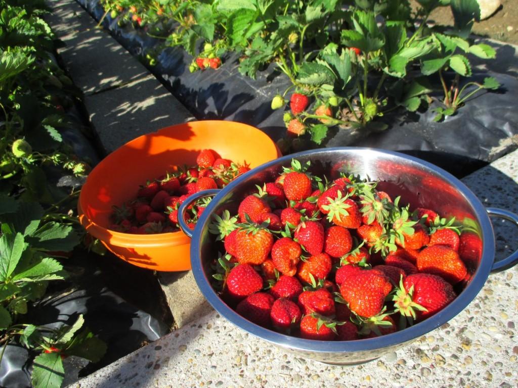 Ma fraiseraie - recolte de fraise propre sur film et bache. passion culture fraise bio