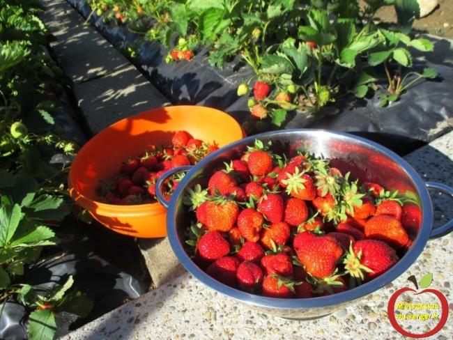 Ma fraiseraie bio - recolte de fraise bio- fraise propre sur film et bache- passion culture fraise bio