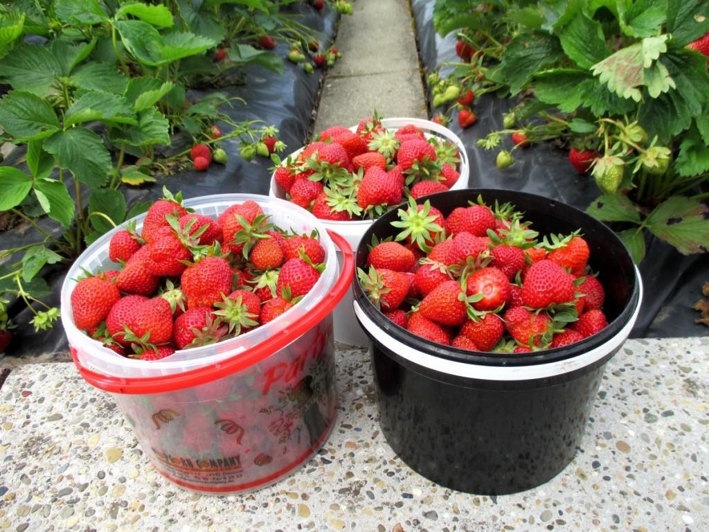 ancienne variete de fraise rustique biologigue