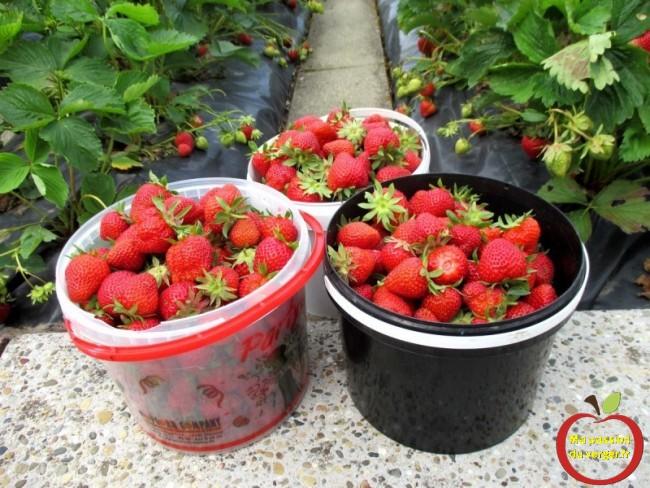 ancienne variété de fraise rustique bio- récolte fraise bio- planter fraise bio- la meilleur fraise sucrée- - regrevudnoissapamegres