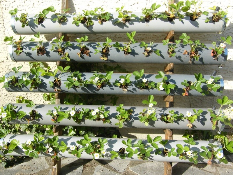 plantation de fraises en tube