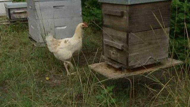 poulet_en_patrouille_pres_des_ruches