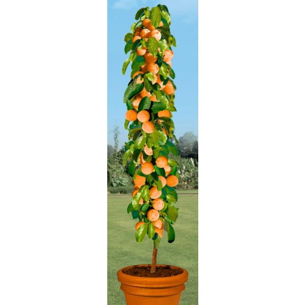 product_gallery_large_1314071444_AUS42669-Pflanzen-Obstpflanzen-Kern-und-Steinobst-Saeulen-Apriko_e4fbbc40-d193-7646-a98a-28e961a2e1d7