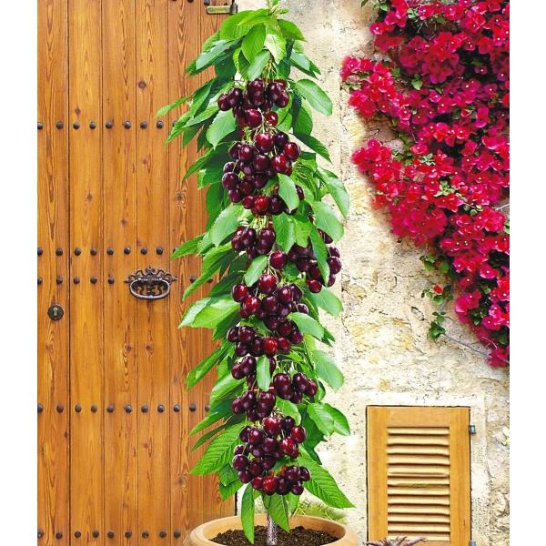 product_gallery_large_1357700107_PN4518-Pflanzen-Obstpflanzen-Beeren-Saeulenkirsche-Garden-Bing-1_6d9863b1-1ef7-ee13-ae98-293ab026ae3e
